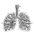 The lungs of man vintage engraving vector image vector image