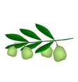 Fresh Green Unripe Walnuts on A Branch vector image