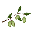 Fresh Green Unripe Almonds on A Branch vector image
