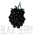 hand drawn watercolor painting blackberry vector image