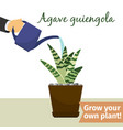hand watering agave plant vector image vector image