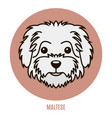 portrait of maltese vector image