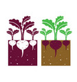 beetroot plant vector image vector image