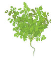 coriander leaves on white background vector image vector image