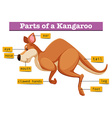 Diagram showing parts of kangaroo vector image vector image