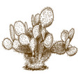 engraving of opuntia cactus vector image vector image
