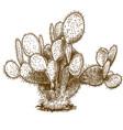 engraving of opuntia cactus vector image