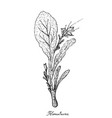 hand drawn of komatsuna plants on white background vector image vector image