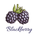 Fresh blackberry fruit sketch for food design vector image vector image