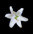 white lily on a black background vector image