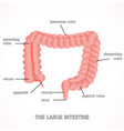 structure and function of the large intestine vector image