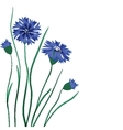 Beautiful blue cornflower isolated on white vector image vector image