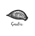 ink sketch garlic vector image