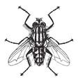 flesh fly vintage vector image vector image