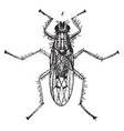 dung fly vintage vector image vector image