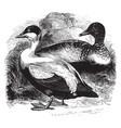 eider ducks vintage vector image vector image