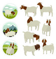 farming today white amp brown boer goats vector image vector image