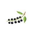 black bird cherry berries fruits bunch with laves vector image