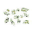 olive tree branches set eco healthy organic vector image vector image