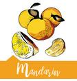 mandarin in hand drawn vector image vector image
