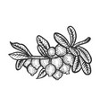 cranberry branch sketch engraving vector image vector image
