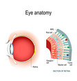 eye anatomy rod cells and cone cells vector image vector image