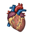 Human heart hand drawn anatomical sketch