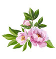 pink peonies on a white vector image