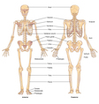 Skeletal structure vector image vector image