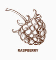 drawing raspberry hand draw for vector image vector image
