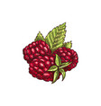 brambleberry raspberry or dewberry isolated berry vector image vector image
