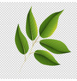 green leaves on transparent background vector image vector image