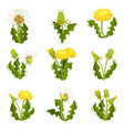 flat set of dandelions wild herd with vector image vector image