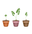 Three Evergreen Plants in Ceramic Flower Pots vector image vector image