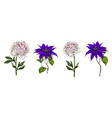 set of bright garden flowers clematis and peony vector image vector image