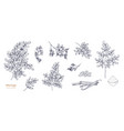 set of detailed botanical drawings of moringa vector image vector image