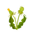 dandelion with two closed heads and green leaves vector image vector image