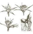 sea lily vector image vector image