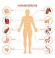 human organs infographics vector image vector image