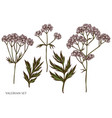 set hand drawn colored valerian vector image vector image