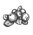 cranberry hand drawn sketch fruit vector image vector image