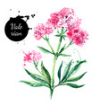 hand drawn watercolor valerian flower painted vector image vector image