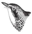 canada warbler vintage vector image vector image