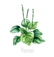 Watercolor plantain herbs vector image