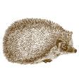 engraving hedgehog vector image vector image