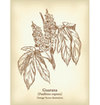 guarana branch with fruit and leaves vintage vector image vector image