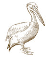 engraving great white pelican vector image