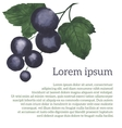 Watercolor blackcurrant vector image