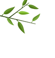 Branch Tree with Green Leaf vector image vector image