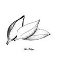 hand drawn of fresh ripe silver bluggoe banana vector image vector image